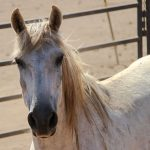 Pferdesprache lernen für eine ganzheitliche Pferdeausbildung