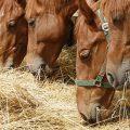 Eiweiß in der Ernährung von Pferden