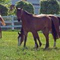 Was Pferde nie fressen dürfen - Giftig für Pferde