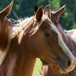 Wenn die Hitze kommt: Zu warm für dein Pferd?